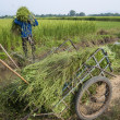 Asian farmer working with rice plant — Stock Photo