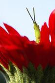 Long horned grasshopper or cricket on red flower — Stock Photo
