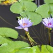 Stock Photo: Lotus. Water lily flower