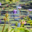 Lotus. Water lily flower — Stock Photo #30422081
