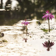 Pink water lily with morning light — Stock fotografie