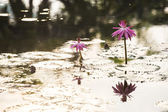 Pink water lily with morning light — Stock Photo