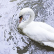 White swan — Stock Photo #38827015