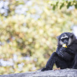 Gibbon Black hand — Stock Photo