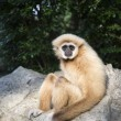 Gibbon White hand — Stock Photo