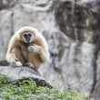 Gibbon White hand — Stock Photo #38827203