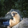 Gibbon White hand — Stock Photo #38827271