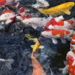 Stock Photo: Carps fish