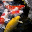 Carps fish — Stock Photo #38827365