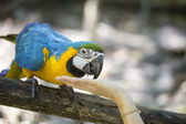 Blue yellow macaw — Stock Photo