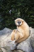 Gibbon White hand — Stock Photo