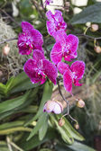 Thai orchid flowers — Stock Photo