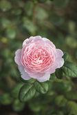Роза Королева Швеции — Стоковое фото
