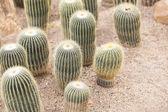 Cactus in garden — Stock Photo