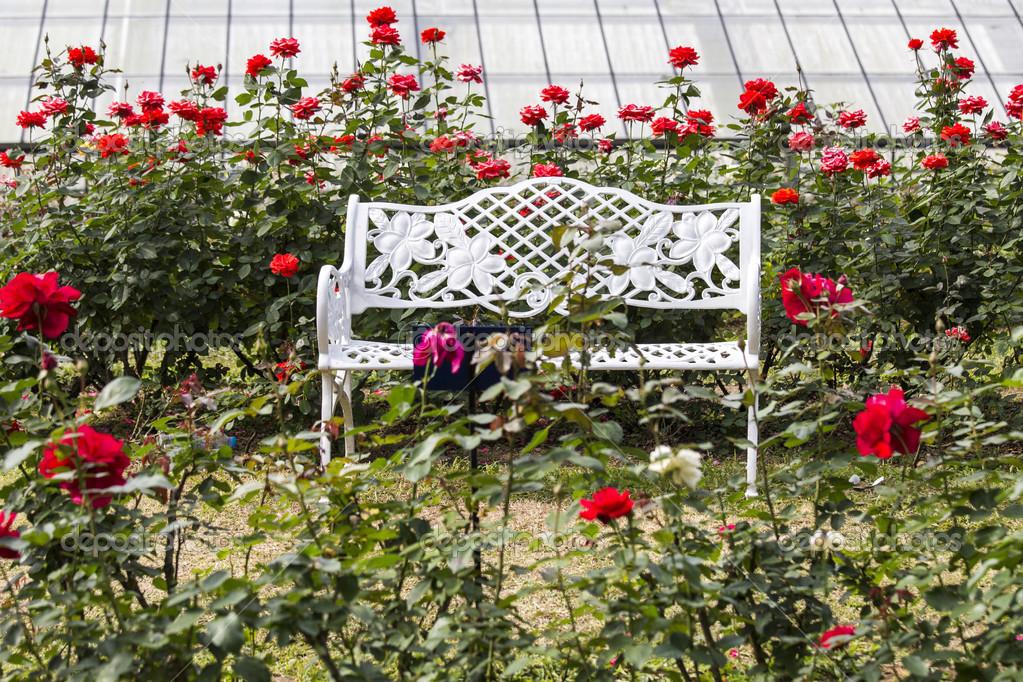 Cadeiras brancas em jardins de rosas vermelhas ...