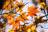 Maple leaf — Стоковое фото