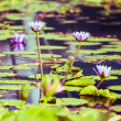 Lotus. Water lily flower — Stock Photo #42835191