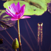 Lotus. Water lily flower — Stock Photo