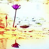 Lotos. kwiat lilii wodnej — Zdjęcie stockowe