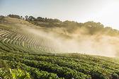 Doi Angkhang strawberry field with fog on morning winter season. — Stock Photo