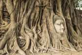 Head of Sandstone Buddha in The Tree Roots at Wat Mahathat, Ayut — Stock Photo