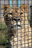 A lioness in a cage peeps — Stock Photo