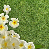 Frangipani on green grass — Stock Photo