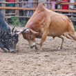 Stock Photo: Bull fight