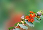 Hummingbird spreads — Stock Photo