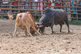 Bull fight — Stock Photo