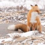 Arctic Wolf — Stock Photo