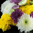 Chrysanthemum daisies — Stock Photo