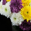 Chrysanthemum daisies — Foto Stock