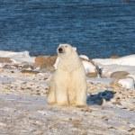 Polar bear — Stock Photo #13157160