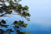Pino en lago baikal — Foto de Stock