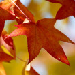 Autumn laves — Stock Photo