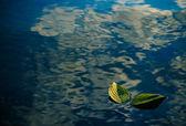 Dos hojas verdes en el agua — Foto de Stock