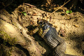 Snake (Natrix) eating toad — Stock Photo