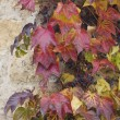 Autumn wild grape on wall — Stock Photo