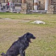 Dogs among pompeii ruins — Stock Photo