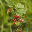 Ripe and unripe red currants and leaves on branch — Stock Photo