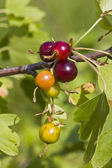 Ripe and unripe gooseberries and leaves on branch — Stock Photo