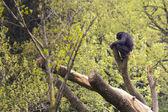 Chimpanzee — Foto de Stock