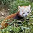 Red panda — Stock Photo #25413821