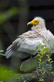 Vulture Capovaccaio — Stock Photo