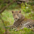Leopard laying — Stock Photo #12974999