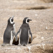 Two magellanic penguin standing in front of their nest — Stock Photo