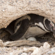 Stock Photo: Magellanic penguin brooding
