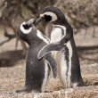 Two magellanic penguins standing in front of their nest — Stock Photo