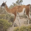 Guanaco munching — Stock Photo
